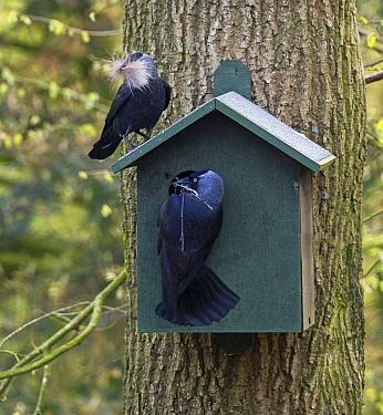 Eurasian Jackdaw (Corvus monedula) pair nesting in nest box, Europe  -  Karin Broekhuijsen/ Buiten-beeld