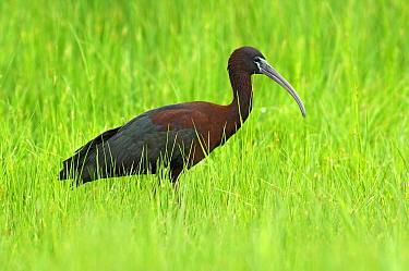 Glossy Ibis (Plegadis falcinellus) in tall grass, Ukraine  -  Wil Meinderts/ Buiten-beeld