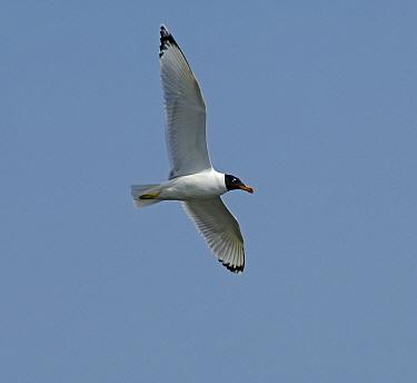 Great Black-headed Gull (Ichthyaetus ichthyaetus) flying, Ukraine  -  Wil Meinderts/ Buiten-beeld