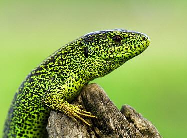 Sand Lizard (Lacerta agilis), Ukraine  -  Wil Meinderts/ Buiten-beeld