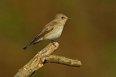 Spotted Flycatcher (Muscicapa striata), Ukraine  -  Wil Meinderts/ Buiten-beeld