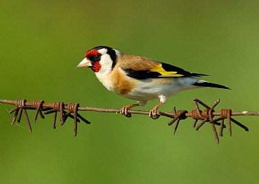 European Goldfinch (Carduelis carduelis) perching on barbed wire, Ukraine  -  Wil Meinderts/ Buiten-beeld