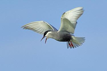 Whiskered Tern (Chlidonias hybrida) flying and calling, Ukraine  -  Wil Meinderts/ Buiten-beeld