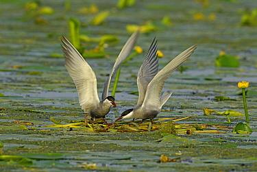 Whiskered Tern (Chlidonias hybrida) pair courting, Ukraine  -  Wil Meinderts/ Buiten-beeld