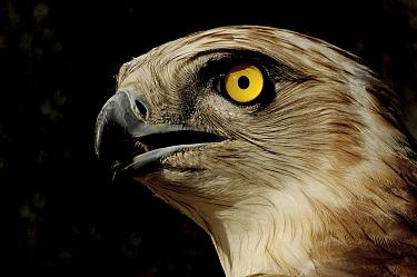 Short-toed Snake-Eagle (Circaetus gallicus) portrait, Europe  -  Ruurd Jelle van der Leij/ Buiten-beeld