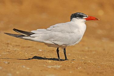 Caspian Tern (Hydroprogne caspia)  -  Ruurd Jelle van der Leij/ Buiten-beeld