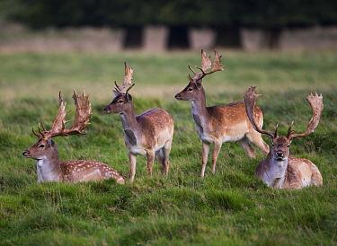Fallow Deer (Dama dama) herd, Netherlands  -  Karin Broekhuijsen/ Buiten-beeld
