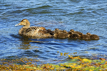 Common Eider (Somateria mollissima) mother with ducklings, Iceland  -  Wil Meinderts/ Buiten-beeld