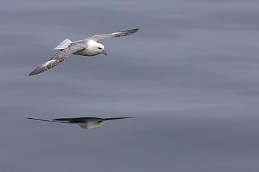 Northern Fulmar (Fulmarus glacialis) flying, Iceland  -  Wil Meinderts/ Buiten-beeld