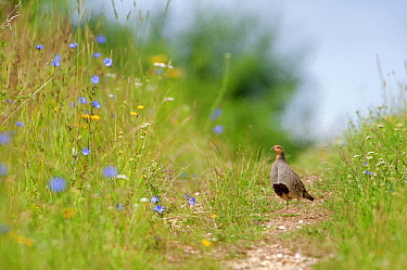 European Partridge (Perdix perdix), standing on dirt road through field of flowers, Europe  -  Marcel van Kammen/ NiS
