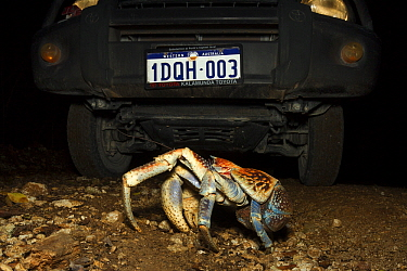 Coconut Crab (Birgus latro) crossing in front of vehicle, Christmas Island National Park, Christmas Island, Australia  -  Stephen Belcher