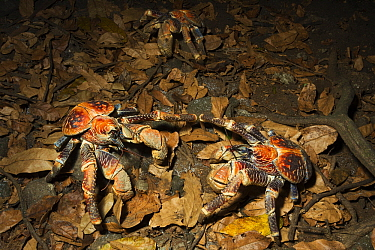 Coconut Crab (Birgus latro) pair on forest floor, Christmas Island National Park, Christmas Island, Australia  -  Stephen Belcher