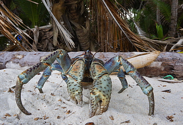 Coconut Crab (Birgus latro) on beach, Christmas Island National Park, Christmas Island, Australia  -  Stephen Belcher