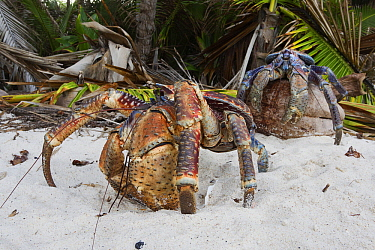 Coconut Crab (Birgus latro) pair on beach, Christmas Island National Park, Christmas Island, Australia  -  Stephen Belcher
