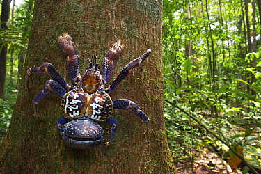 Coconut Crab (Birgus latro) with identification number as part of growth study climbing tree after being measured, weighed and photographed, Christmas Island National Park, Christmas Island, Australia  -  Stephen Belcher