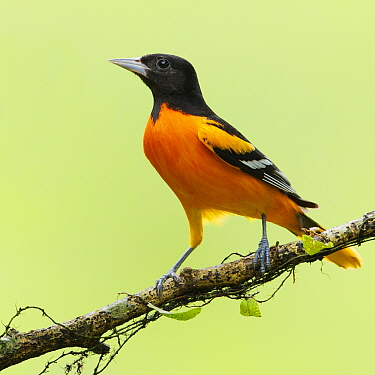 Baltimore Oriole (Icterus galbula) male on branch, Costa Rica  -  Tom van den Brandt/ NIS