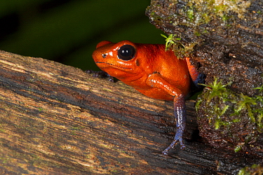 Strawberry Poison Dart Frog (Oophaga pumilio), Costa Rica  -  Tom van den Brandt/ NIS