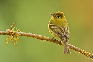 Yellowish Flycatcher (Empidonax flavescens), Costa Rica  -  Tom van den Brandt/ NIS