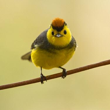 Collared Redstart (Myioborus torquatus), Costa Rica  -  Tom van den Brandt/ NIS