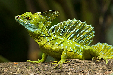 Green Basilisk (Basiliscus plumifrons) lizard with crest raised, Costa Rica  -  Tom van den Brandt/ NIS