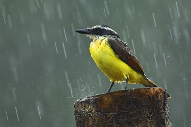 Great Kiskadee (Pitangus sulphuratus) getting soaked in rain storm, Costa Rica  -  Tom van den Brandt/ NIS
