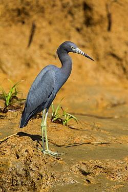 Little Blue Heron (Egretta caerulea), Costa Rica  -  Tom van den Brandt/ NIS