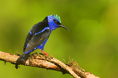Red-legged Honeycreeper (Cyanerpes cyaneus) male, Costa Rica  -  Tom van den Brandt/ NIS
