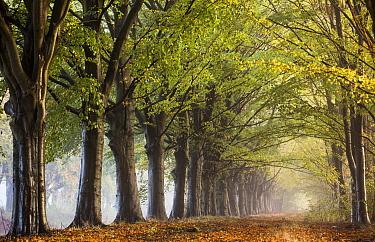 Road surrounded with trees, Drenthe, Netherlands  -  Karin Broekhuijsen/ Buiten-beeld