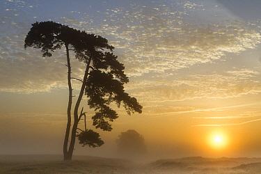 Trees in fog, Friesland, Netherlands  -  Karin Broekhuijsen/ Buiten-beeld