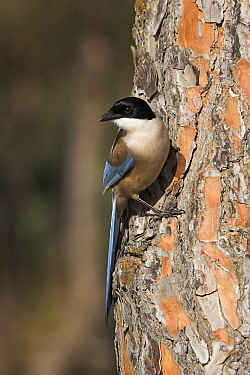 Azure-winged Magpie (Cyanopica cyana) on tree trunk, Europe  -  Martin Woike/ NiS