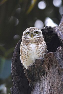 Spotted Owlet (Athene brama) in hollow tree, Europe  -  Martin Woike/ NiS