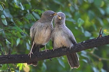 Jungle Babbler (Turdoides striatus) pair allopreening, India  -  Martin Woike/ NiS