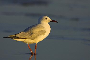 Slender-billed Gull (Larus genei), Europe  -  Martin Woike/ NiS
