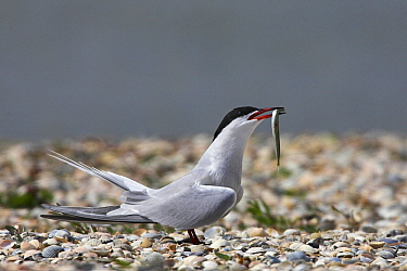 Common Tern (Sterna hirundo) with fish prey, Europe  -  Martin Woike/ NiS