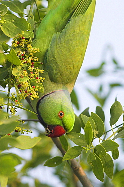 Rose-ringed Parakeet (Psittacula krameri) male, India  -  Martin Woike/ NiS