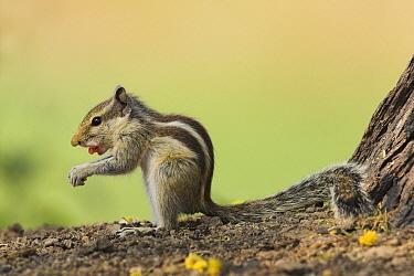 Indian Palm Squirrel (Funambulus palmarum) feeding, India  -  Martin Woike/ NiS