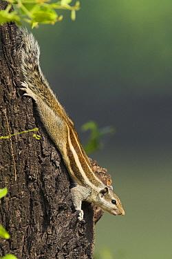 Indian Palm Squirrel (Funambulus palmarum) sunning on tree trunk, India  -  Martin Woike/ NiS
