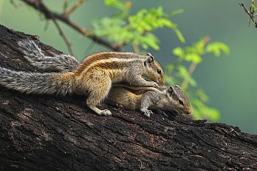 Indian Palm Squirrel (Funambulus palmarum) pair mating, India  -  Martin Woike/ NiS