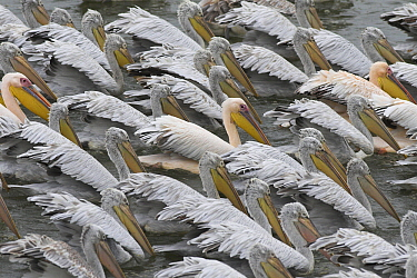 Dalmatian Pelican (Pelecanus crispus) densely packed flock, Greece  -  Martin Woike/ NiS