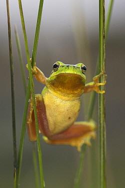 Stripeless Tree Frog (Hyla meridionalis) in reeds, Europe  -  Martin Woike/ NiS
