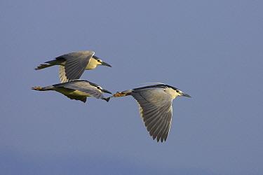 Black-crowned Night Heron (Nycticorax nycticorax) trio flying, Europe  -  Martin Woike/ NiS