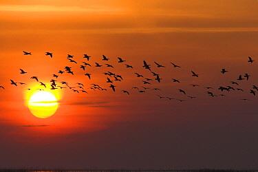 Barnacle Goose (Branta leucopsis) flock flying at sunset, Europe  -  Martin Woike/ NiS