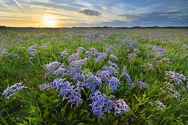 Mediterranean Sea Lavender (Limonium vulgare) flowering, Belgium  -  Bart Heirweg/ Buiten-beeld