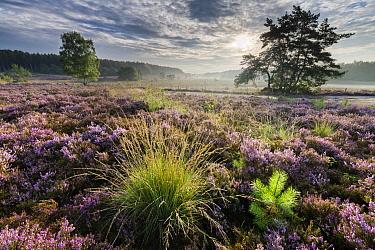 Heathland at sunrise, Zonhoven, Belgium  -  Bart Heirweg/ Buiten-beeld