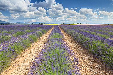 Lavender (Lavandula sp) field, Valensole, France  -  Bart Heirweg/ Buiten-beeld