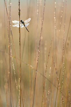 Black Darter (Sympetrum danae) dragonfly covered with dew, Europe  -  Bart Heirweg/ Buiten-beeld