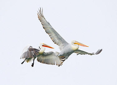 Dalmatian Pelican (Pelecanus crispus) pair flying, Greece  -  Jan Vermeer