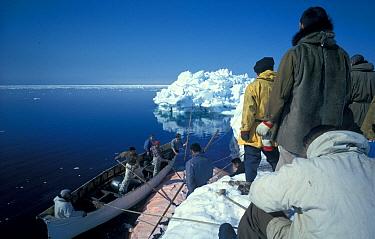 Arctic People Eskimo,Inuit, Taking muktuk skin and fat off Right Whale, Bering Sea  -  Steve McCutcheon/ FLPA