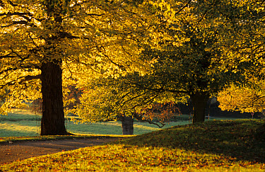 Autumn, trees in autumn colour, Charlecote Park, Warwickshire, England  -  Tony Hamblin/ FLPA