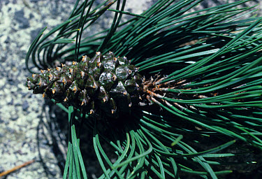 Pinus uncinata Leaf, fruit  -  Maurice Nimmo/ FLPA